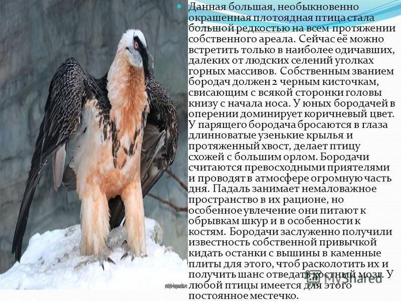 Данная большая, необыкновенно окрашенная плотоядная птица стала большой редкостью на всем протяжении собственного ареала. Сейчас её можно встретить только в наиболее одичавших, далеких от людских селений уголках горных массивов. Собственным званием б