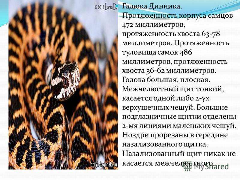 Гадюка Динника. Протяженность корпуса самцов 472 миллиметров, протяженность хвоста 63-78 миллиметров. Протяженность туловища самок 486 миллиметров, протяженность хвоста 36-62 миллиметров. Голова большая, плоская. Межчелюстный щит тонкий, касается одн