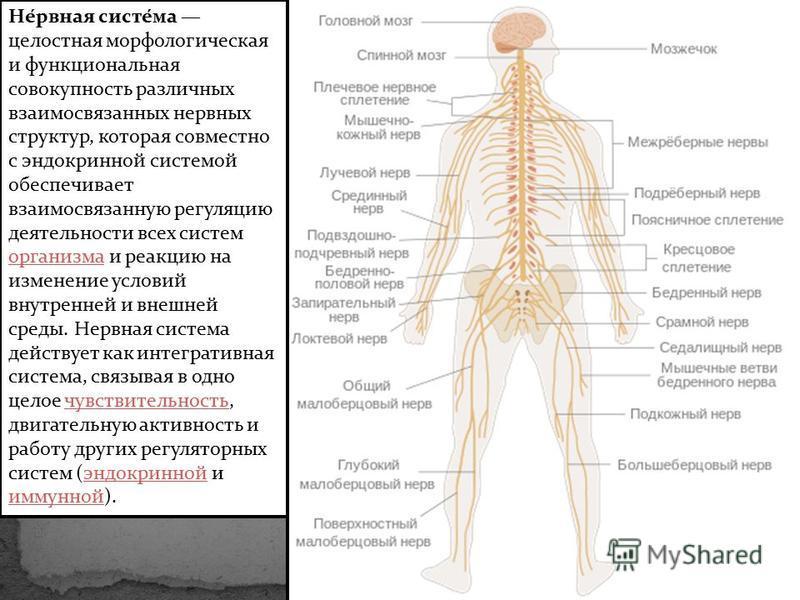 Не́ровная систе́ма целостная морфологическая и функциональная совокупность различных взаимосвязанных нервных структур, которая совместно с эндокринной системой обеспечивает взаимосвязанную регуляцию деятельности всех систем организма и реакцию на изм