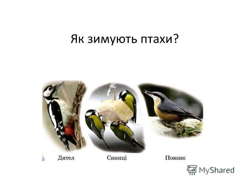 Як зимують птахи?