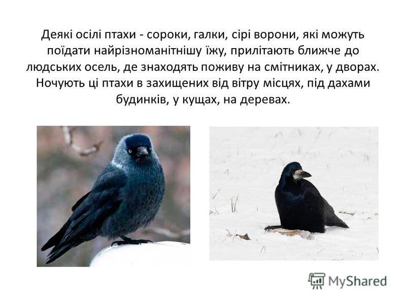 Деякі осілі птахи - сороки, галки, сірі ворони, які можуть поїдати найрізноманітнішу їжу, прилітають ближче до людських осель, де знаходять поживу на смітниках, у дворах. Ночують ці птахи в захищених від вітру місцях, під дахами будинків, у кущах, на