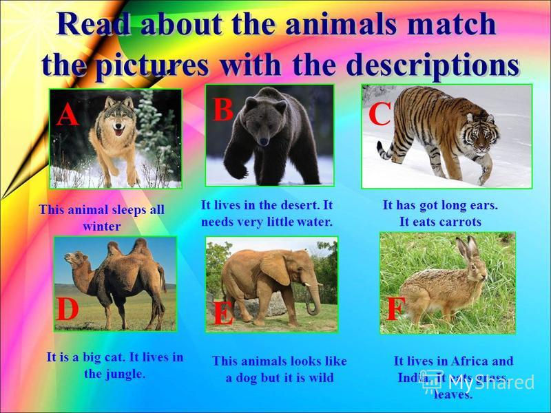 This animal sleeps all winter It lives in the desert. It needs very little water. It has got long ears. It eats carrots It is a big cat. It lives in the jungle. This animals looks like a dog but it is wild It lives in Africa and India. It eats grass,