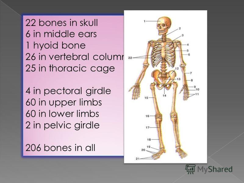 22 bones in skull 6 in middle ears 1 hyoid bone 26 in vertebral column 25 in thoracic cage 4 in pectoral girdle 60 in upper limbs 60 in lower limbs 2 in pelvic girdle 206 bones in all 22 bones in skull 6 in middle ears 1 hyoid bone 26 in vertebral co
