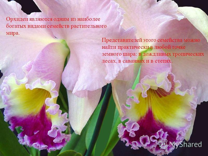 Орхидеи являются одним из наиболее богатых видами семейств растительного мира. Представителей этого семейства можно найти практически в любой точке земного шара: в дождливых тропических лесах, в саваннах и в степях.