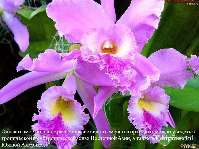 Однако самое большое разнообразие видов семейства орхидных можно увидеть в тропической и субтропической зонах Восточной Азии, а также в Центральной и Южной Америке.