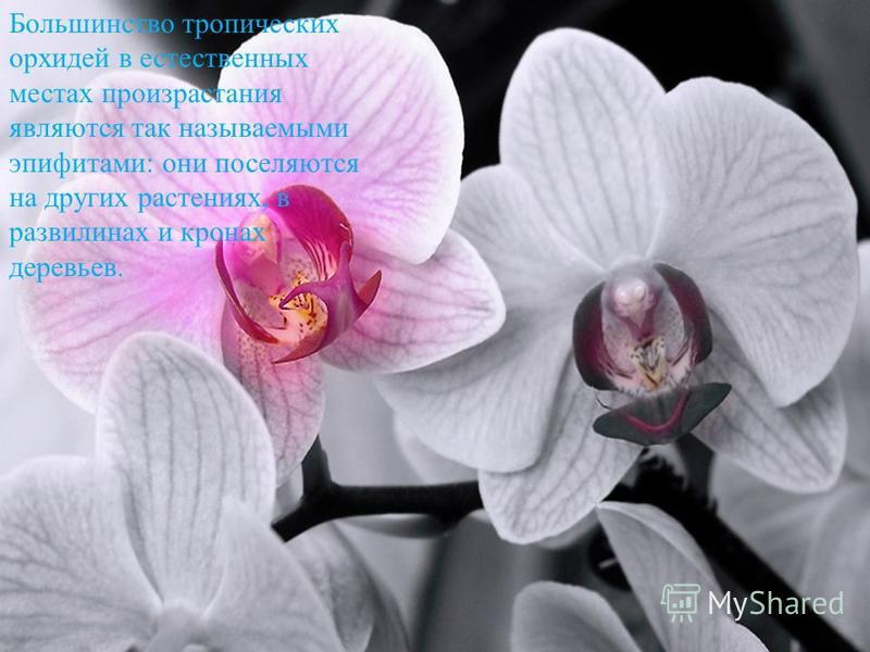 Большинство тропических орхидей в естественных местах произрастания являются так называемыми эпифитами: они поселяются на других растениях, в развилинах и кронах деревьев.