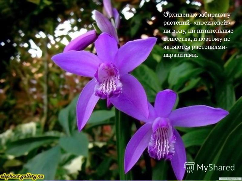 Орхидеи не забирают у растений- «носителей» ни воду, ни питательные вещества, и поэтому не являются растениями- паразитами.