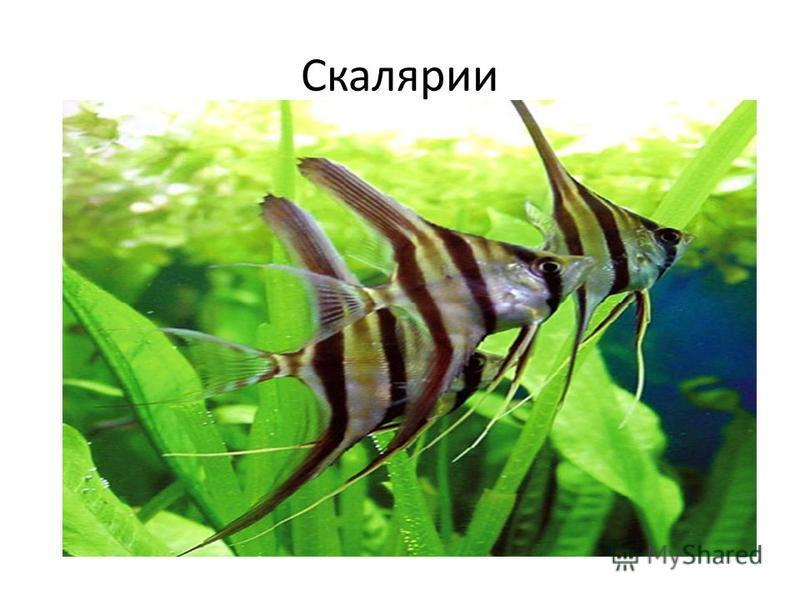 Рыбки неоны достаточно широко распространенны в природе. Встречаются в ручьях и реках Южной Америки, в Перу, Колумбии, Бразилии. Вода в этих водоемах очень мягкая, насыщенная выделениями растительных остатков, но при этом абсолютно чистая. Реки сильн
