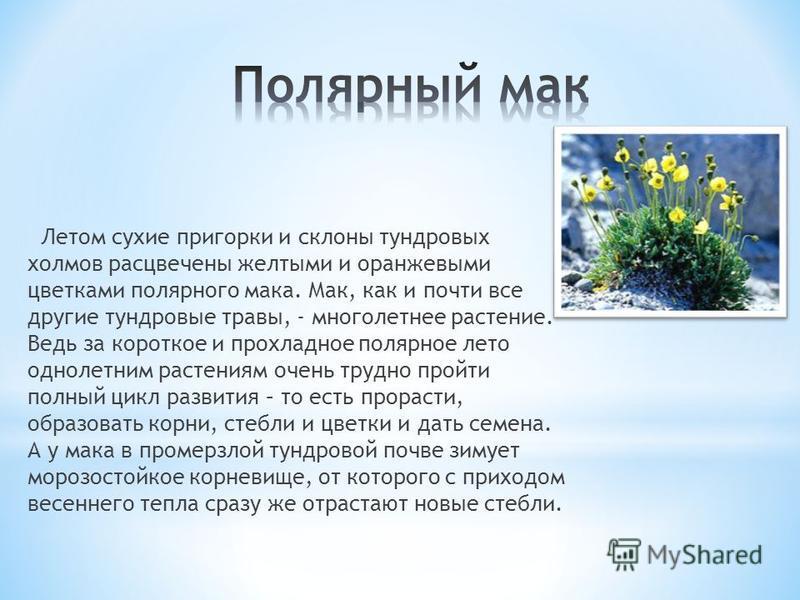 Летом сухие пригорки и склоны тундровых холмов расцвечены желтыми и оранжевыми цветками полярного мака. Мак, как и почти все другие тундровые травы, - многолетнее растение. Ведь за короткое и прохладное полярное лето однолетним растениям очень трудно