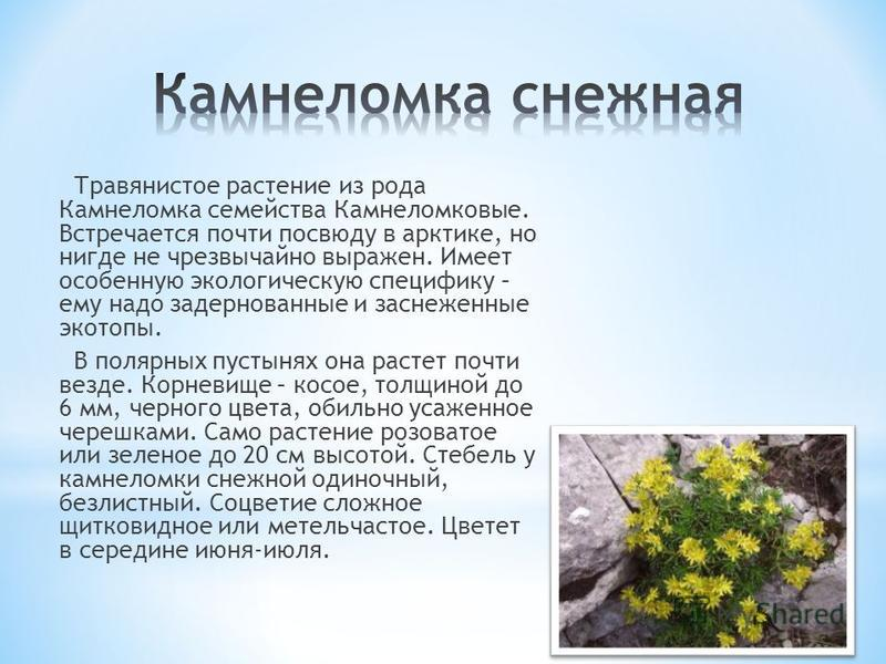 Травянистое растение из рода Камнеломка семейства Камнеломковые. Встречается почти повсюду в арктике, но нигде не чрезвычайно выражен. Имеет особенную экологическую специфику – ему надо задернованные и заснеженные экотопы. В полярных пустынях она рас