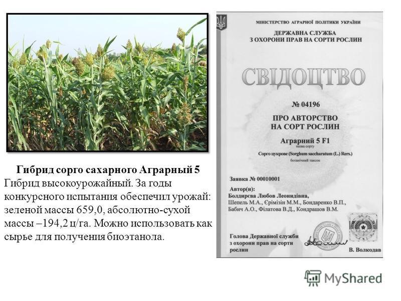 Гибрид сорго сахарного Аграрный 5 Гибрид высокоурожайный. За годы конкурсного испытания обеспечил урожай: зеленой массы 659,0, абсолютно-сухой массы –194,2 ц/га. Можно использовать как сырье для получения биоэтанола.