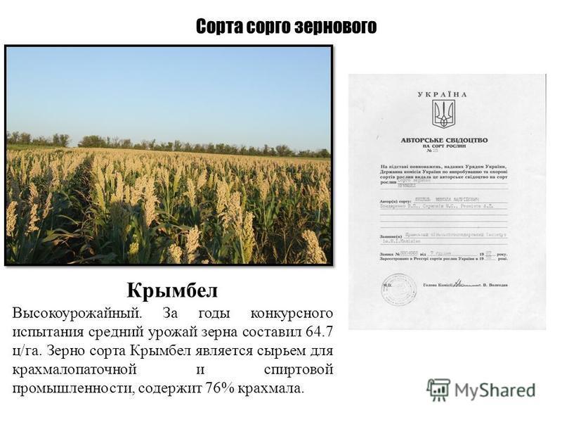 Сорта сорго зернового Крымбел Высокоурожайный. За годы конкурсного испытания средний урожай зерна составил 64.7 ц/га. Зерно сорта Крымбел является сырьем для крахмалопаточной и спиртовой промышленности, содержит 76% крахмала.
