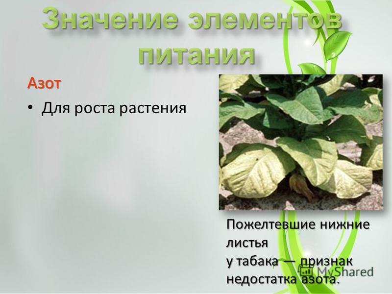 Азот Для роста растения Пожелтевшие нижние листья у табака признак недостатка азота.
