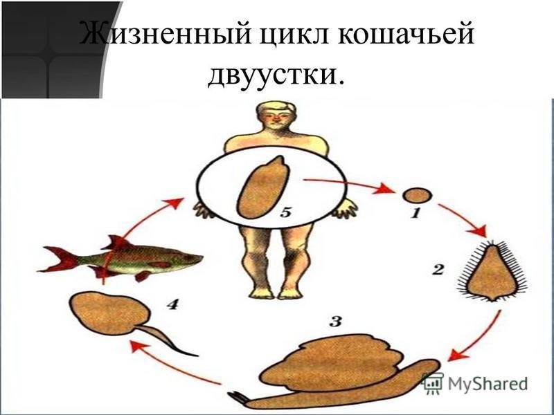 Жизненный цикл кошачьей двуустки.