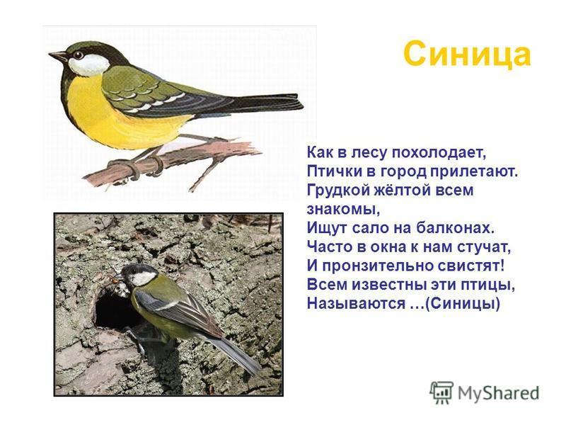 Синица Как в лесу похолодает, Птички в город прилетают. Грудкой жёлтой всем знакомы, Ищут сало на балконах. Часто в окна к нам стучат, И пронзительно свистят! Всем известны эти птицы, Называются …(Синицы)
