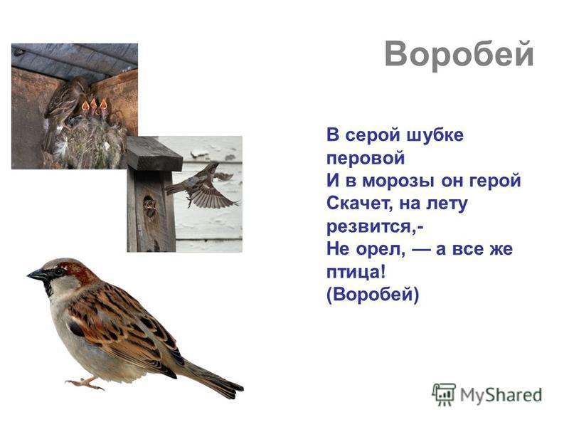 Воробей В серой шубке перовой И в морозы он герой Скачет, на лету резвится,- Не орел, а все же птица! (Воробей)