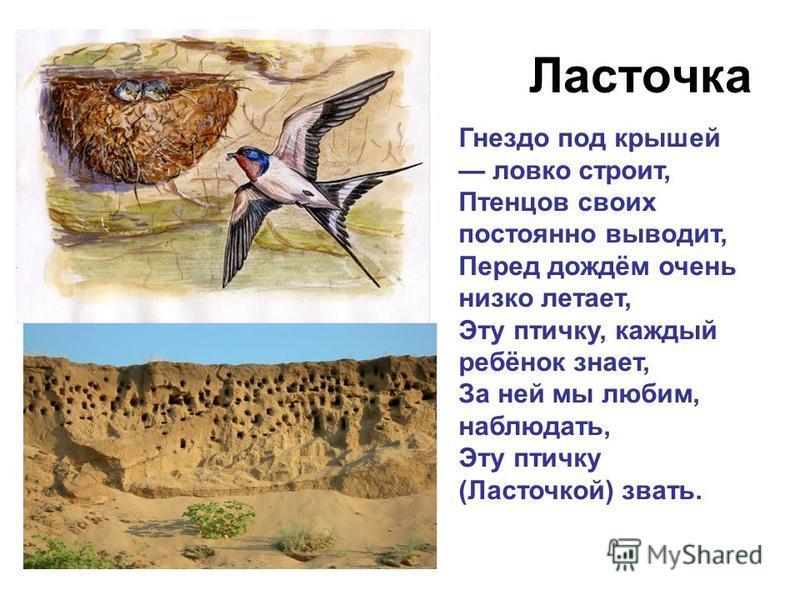 Ласточка Гнездо под крышей ловко строит, Птенцов своих постоянно выводит, Перед дождём очень низко летает, Эту птичку, каждый ребёнок знает, За ней мы любим, наблюдать, Эту птичку (Ласточкой) звать.