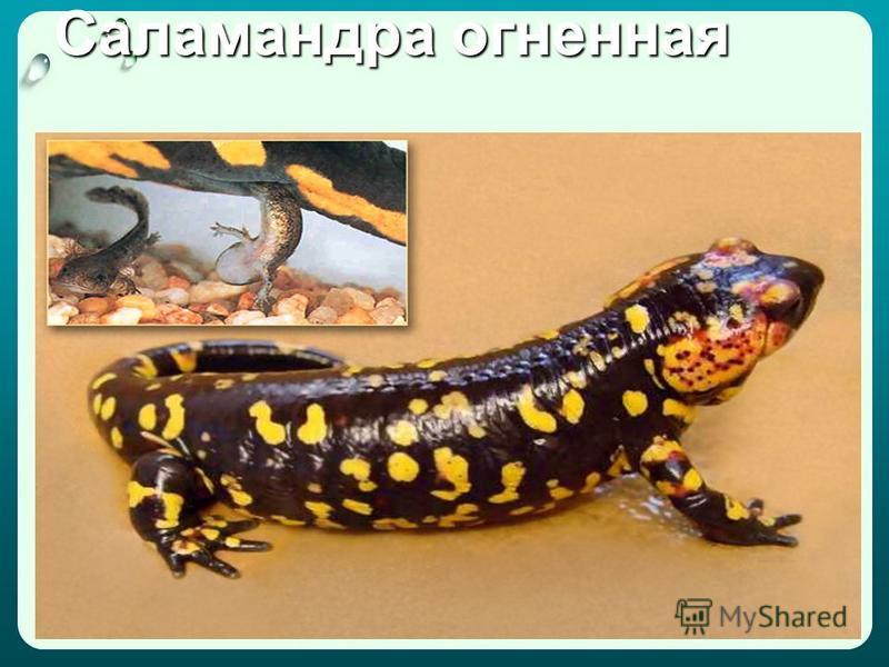 Саламандра огненная