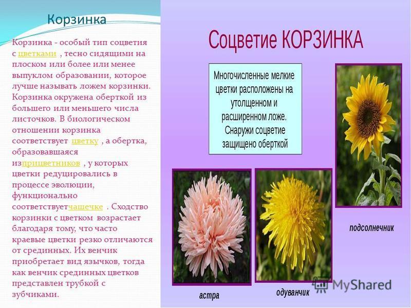 Корзинка Корзинка - особый тип соцветия с цветками, тесно сидящими на плоском или более или менее выпуклом образовании, которое лучше называть ложем корзинки. Корзинка окружена оберткой из большего или меньшего числа листочков. В биологическом отноше