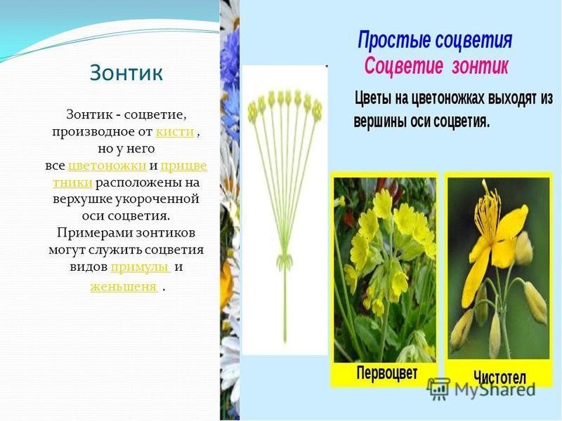 Зонтик Зонтик - соцветие, производное от кисти, но у него все цветоножки и при цветники расположены на верхушке укороченной оси соцветия. Примерами зонтиков могут служить соцветия видов примулы икистицветоножкипри цветникипримулы женьшеня.женьшеня