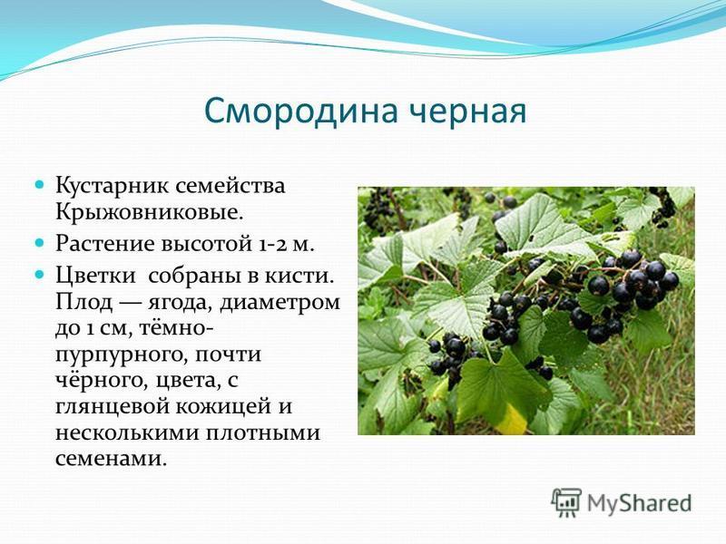Смородина черная Кустарник семейства Крыжовниковые. Растение высотой 1-2 м. Цветки собраны в кисти. Плод ягода, диаметром до 1 см, тёмно- пурпурного, почти чёрного, цвета, с глянцевой кожицей и несколькими плотными семенами.