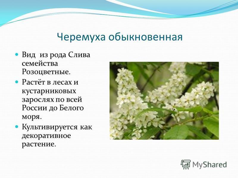 Черемуха обыкновенная Вид из рода Слива семейства Розоцветные. Растёт в лесах и кустарниковых зарослях по всей России до Белого моря. Культивируется как декоративное растение.