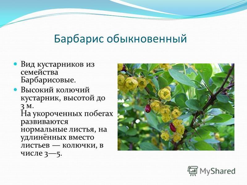 Барбарис обыкновенный Вид кустарников из семейства Барбарисовые. Высокий колючий кустарник, высотой до 3 м. На укороченных побегах развиваются нормальные листья, на удлинённых вместо листьев колючки, в числе 35.