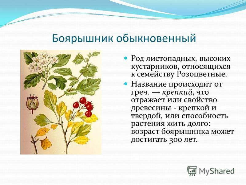 Боярышник обыкновенный Род листопадных, высоких кустарников, относящихся к семейству Розоцветные. Название происходит от греч. крепкий, что отражает или свойство древесины - крепкой и твердой, или способность растения жить долго: возраст боярышника м
