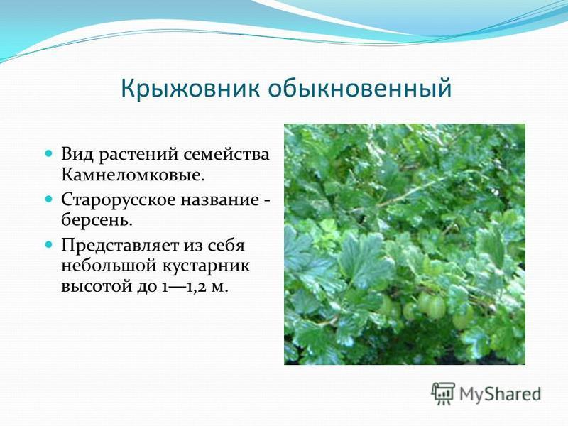 Крыжовник обыкновенный Вид растений семейства Камнеломковые. Старорусское название - берсень. Представляет из себя небольшой кустарник высотой до 11,2 м.