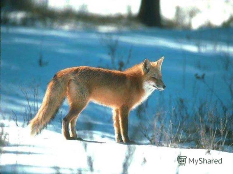 Вот прошла по ней лисица, Заметая след хвостом.