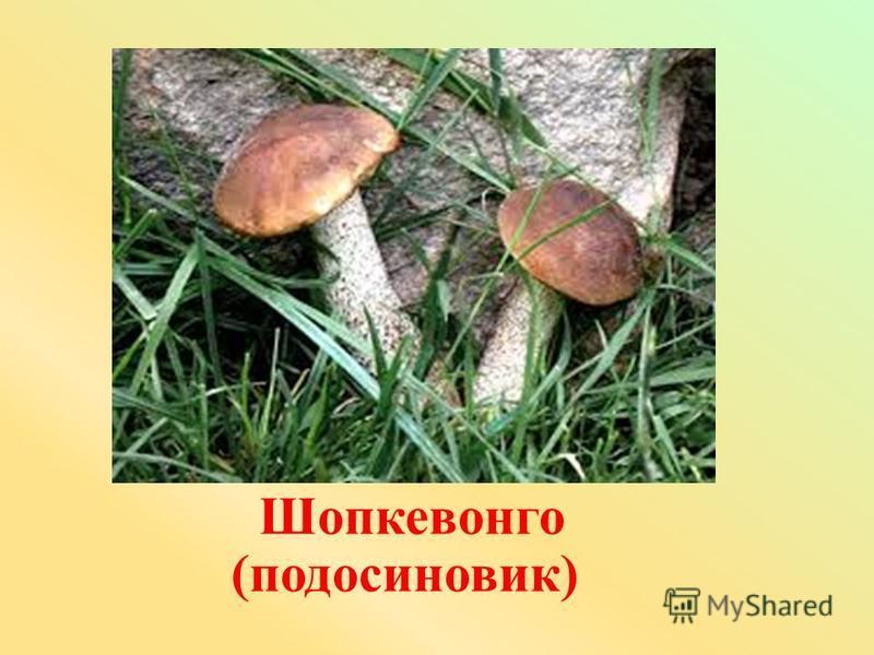 Шопкевонго (подосиновик)