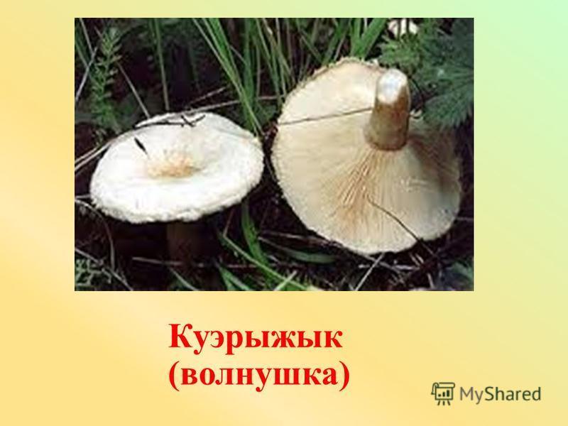 Куэрыжык (волнушка)