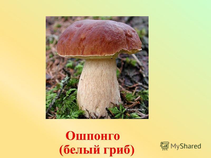 Ошпонго (белый гриб)