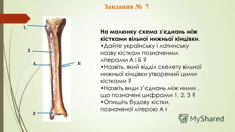 Завдання 7 А Б 1. 2 3 На малюнку схема зєднань між кістками вільної нижньої кінцівки. Дайте українську і латинську назву кісткам позначеним літерами А і Б ? Назвіть, який відділ скелету вільної нижньої кінцівки утворений цими кістками ? Назвіть види