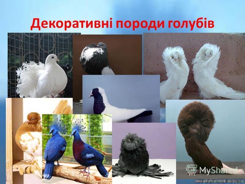 Декоративні породи голубів