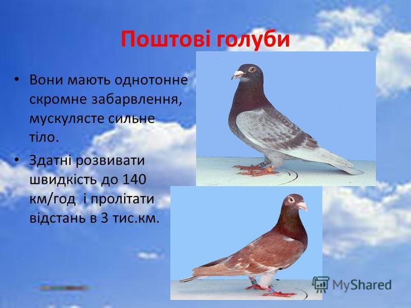Поштові голуби Вони мають однотонне скромне забарвлення, мускулясте сильне тіло. Здатні розвивати швидкість до 140 км/год і пролітати відстань в 3 тис.км.
