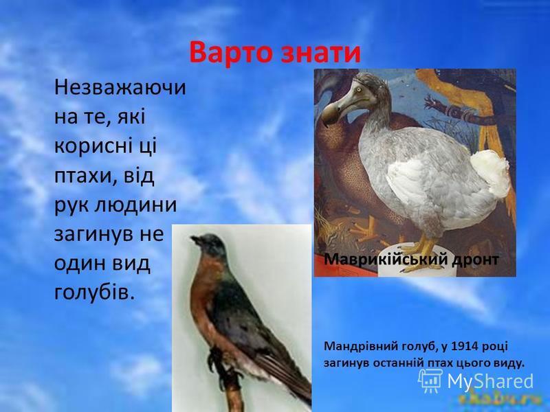 Варто знати Незважаючи на те, які корисні ці птахи, від рук людини загинув не один вид голубів. Маврикійський дронт Мандрівний голуб, у 1914 році загинув останній птах цього виду.