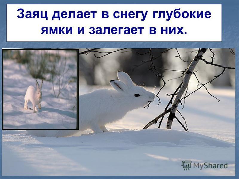 Что делает зимой заяц? Заяц делает в снегу глубокие ямки и залегает в них.