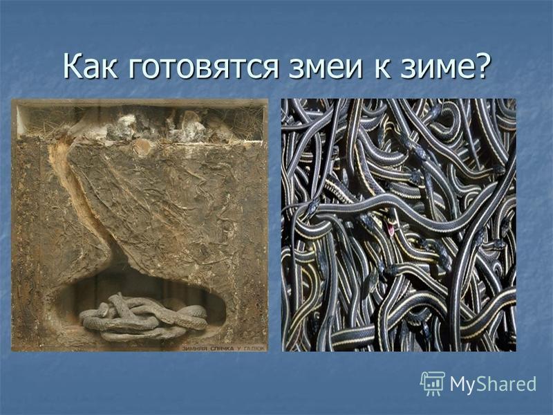 Как готовятся змеи к зиме?