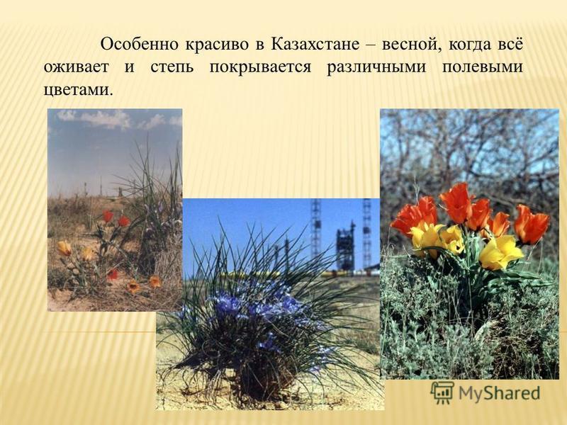 Особенно красиво в Казахстане – весной, когда всё оживает и степь покрывается различными полевыми цветами.