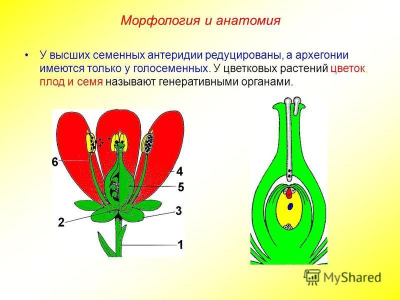У высших семенных антеридии редуцированы, а архегонии имеются только у голосеменных. У цветковых растений цветок, плод и семя называют генеративными органами. Морфология и анатомия