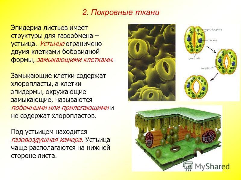 Эпидерма листьев имеет структуры для газообмена – устьица. Устьице ограничено двумя клетками бобовидной формы, замыкающими клетками. Замыкающие клетки содержат хлоропласты, а клетки эпидермы, окружающие замыкающие, называются побочными или прилегающи