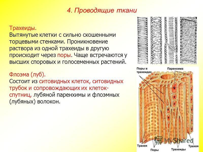 Трахеиды. Вытянутые клетки с сильно скошенными торцевыми стенками. Проникновение раствора из одной трахеиды в другую происходит через поры. Чаще встречаются у высших споровых и голосеменных растений. Флоэма (луб). Состоит из ситовидных клеток, ситови