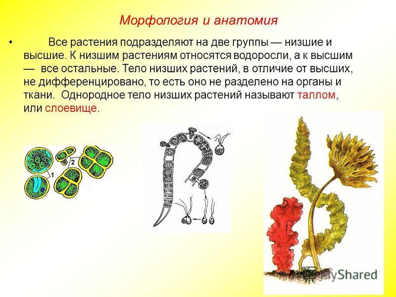Все растения подразделяют на две группы низшие и высшие. К низшим растениям относятся водоросли, а к высшим все остальные. Тело низших растений, в отличие от высших, не дифференцировано, то есть оно не разделено на органы и ткани. Однородное тело низ