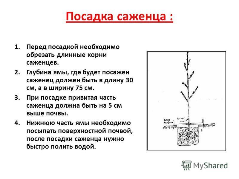 Посадка саженца : 1. Перед посадкой необходимо обрезать длинные корни саженцев. 2. Глубина ямы, где будет посажен саженец должен быть в длину 30 см, а в ширину 75 см. 3. При посадке привитая часть саженца должна быть на 5 см выше почвы. 4. Нижнюю час