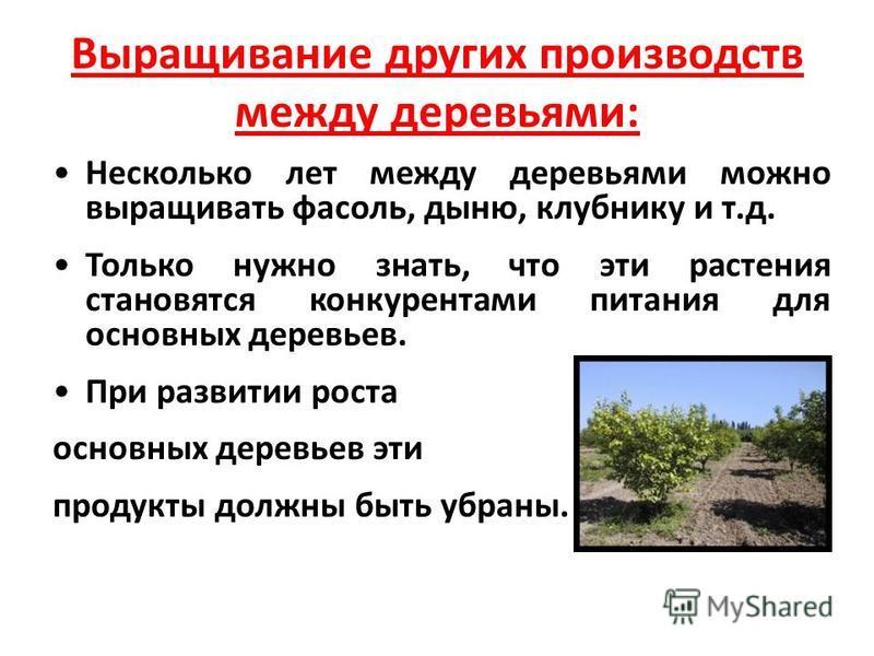Выращивание других производств между деревьями: Несколько лет между деревьями можно выращивать фасоль, дыню, клубнику и т.д. Только нужно знать, что эти растения становятся конкурентами питания для основных деревьев. При развитии роста основных дерев