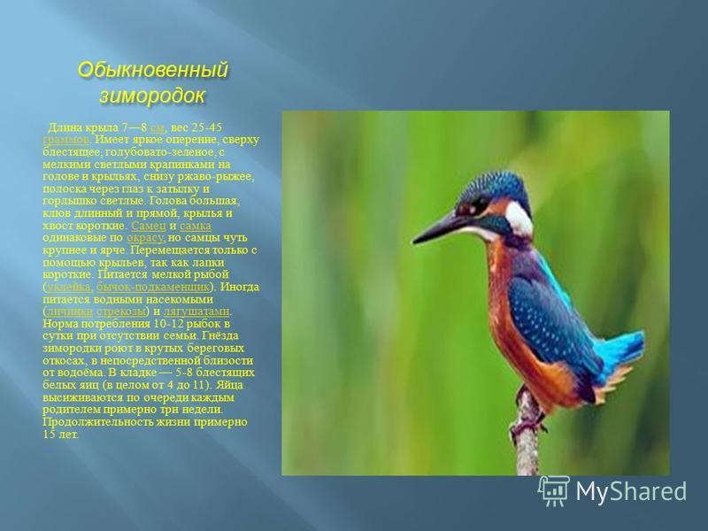 Обыкновенный зимородок Длина крыла 78 см, вес 25-45 граммов. Имеет яркое оперение, сверху блестящее, голубовато - зеленое, с мелкими светлыми крапинками на голове и крыльях, снизу ржаво - рыжее, полоска через глаз к затылку и горлышко светлые. Голова