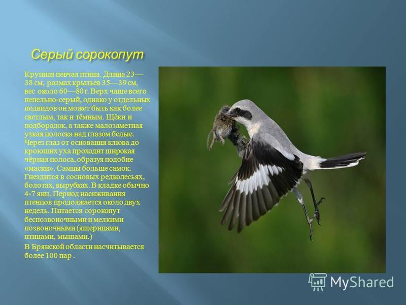 Серый сорокопут Крупная певчая птица. Длина 23 38 см, размах крыльев 3539 см, вес около 6080 г. Верх чаще всего пепельно - серый, однако у отдельных подвидов он может быть как более светлым, так и тёмным. Щёки и подбородок, а также малозаметная узкая