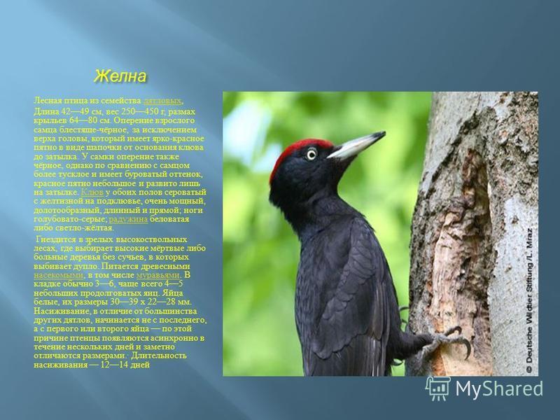 Желна Лесная птица из семейства дятловых, дятловых Длина 4249 см, вес 250450 г, размах крыльев 6480 см. Оперение взрослого самца блестяще - чёрное, за исключением верха головы, который имеет ярко - красное пятно в виде шапочки от основания клюва до з
