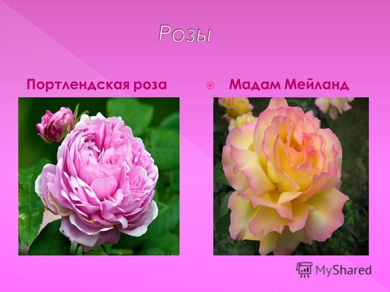 Портлендская роза Мадам Мейланд